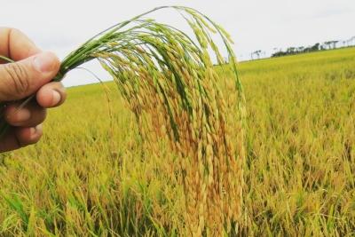 Revista Agries abre prazo para submissão de artigos em dossiê especial sobre cultivo do arroz no Tocantins