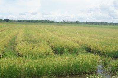 Unitins e Embrapa realizam a IV Mostra de Pesquisa de Arroz Irrigado