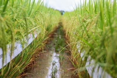 Referência em pesquisa de arroz irrigado, Unitins e Embrapa renovam parceria para continuidade dos trabalhos